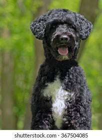 Portuguese Water Dog in the woods standing on a log.