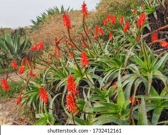 Portuguese wild landscape with Aloe arborescens flowers, green spiny leaves and bright red blossoms, bloom in winter. Krantz aloe or Candelabra aloe is flowering plant in the Asphodelaceae family.