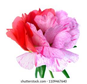 Portulaca gradiflora flower (Moss Roses)