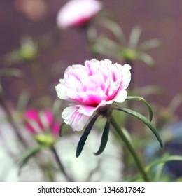 Portulaca grandiflora or nine oclock flower. Because it blooms until nine oclock.