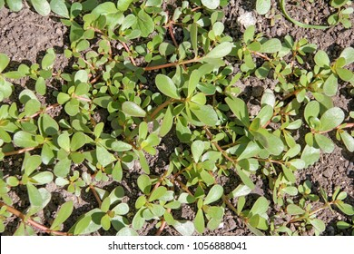 "Portulaca oleracea (common purslane, verdolaga, pursley) in field. It is used as traditional Chinese medical herbal (Ma Chi Xian ""horse tooth amaranth), which has cooling and detoxification effect."