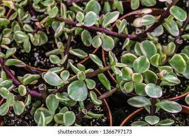Portulacaria Afra Variegata indoor ornamental plant. Limited depth of field.