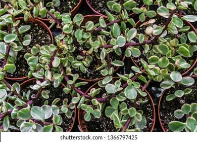 Portulacaria Afra Variegata indoor ornamental plant in pots. Top view.