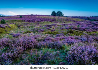 Posbank National park Veluwe, purple pink heather in bloom, blooming heater on the Veluwe by the Hills of the Posbank Rheden, Netherlands