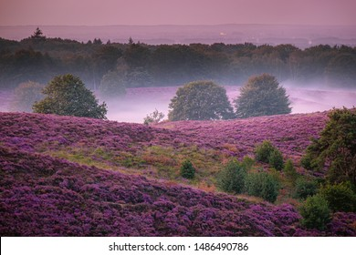 Posbank National park Veluwe, purple pink heather in bloom, blooming heater on the Veluwezoom park by the Hills of the Posbank Rheden, Netherlands