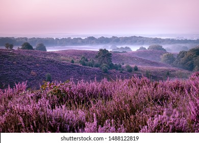 Posbank national park Veluwezoom, blooming Heather fields during Sunrise at the Veluwe in the Netherlands, purple hills of the Posbank