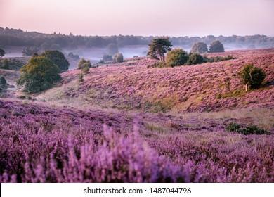 Posbank netherlands, misty foggy sunrise over the national park Veluwezoom Posbank Netherlands, heather flowers in blooming, purple hills