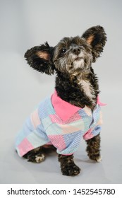 Posed Yorkie Poo Wearing Designed Shirt