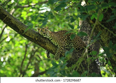 Poses of the leopard resting on a tree in Huai Kha Khaeng Wildlife Sanctuary, Uthai Thani Province, Thailand