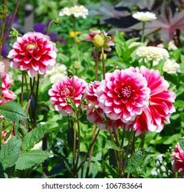 Posh Motley Dahlia In The Garden
