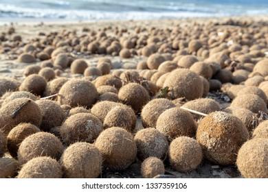 Posidonia Oceanica, fuzzy algal sea balls, funny kiwi like balls on Mallorca beaches