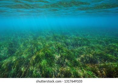 Posidonia oceanica seagrass underwater in the Mediterranean sea, Cabo de Gata Nijar, Almeria, Andalusia, Spain