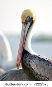 A posing beautiful pale pelican in St. Mary's Island, Tampa