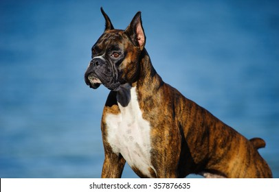 Posing Boxer with Cropped Ears