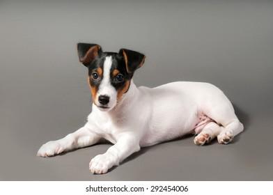Posing Jack Russell Terrier