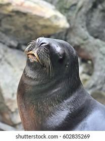 Posing South American sea lion (Otaria flavescens, formerly Otaria byronia)