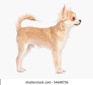 Posing the young chihuahua dog isolated on white