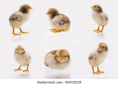 Position of Little chick , Chicken  on a white background