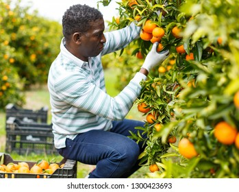 Positive afro male farmer picking carefully ripe mandarins in crate on plantation