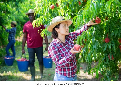 Positive Latina working in farm orchard during summer harvest time, picking fresh ripe peaches
