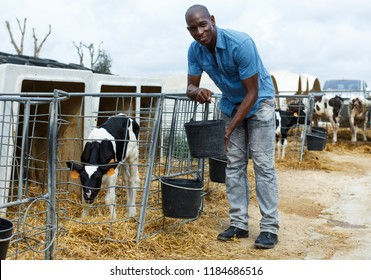 Positive male worker feeding calves while working of dairy farm