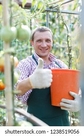 Positive man  professional horticulturist picking harvest of tomatoes to bucket in  greenhouse