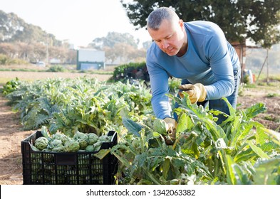 Positive man  professional horticulturist picking harvest of artichokes to crate in  garden
