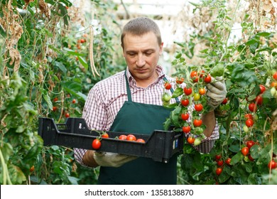Positive man  professional horticulturist picking harvest of tomatoes to crate in  hothouse