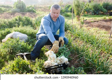 Positive man  professional horticulturist picking harvest of green onion to crate in  garden