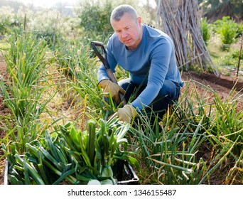 Positive man  professional horticulturist with using  mattock picking harvest of green onion