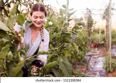 Positive woman gardener  looking harvest of eggplants  in   sunny hothouse