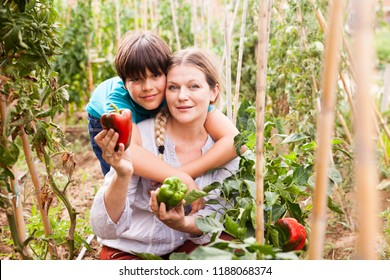 Positive woman  horticulturist  with boy picking  harvest of  peppers  in greenhouse