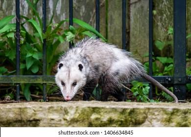 Possum in the back yard