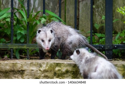 Baby Possum Stock Photos, Images & Photography | Shutterstock