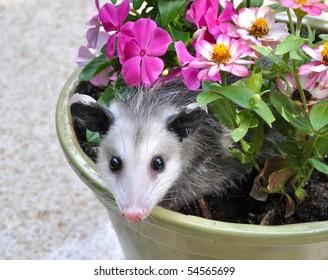 Possum in flower pot
