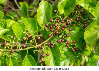 Possum grape vine (Cissus verticillata) fruit closeup - Long Key Natural Area, Davie, Florida, USA