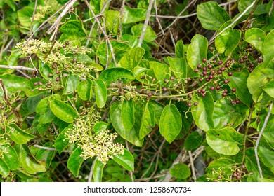 Possum grape vine (Cissus verticillata) - Long Key Natural Area, Davie, Florida, USA