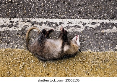 A possum killed by a car in the road.