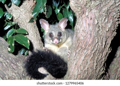 Possum on Tree - Australia