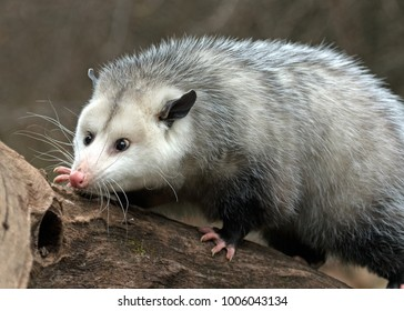 possum in search of food