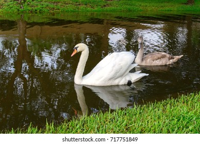 post hurricane Harvey flood waters in Houston, Texas, September 3, 2017. Outdoor landscape with swans swimming in flooded street