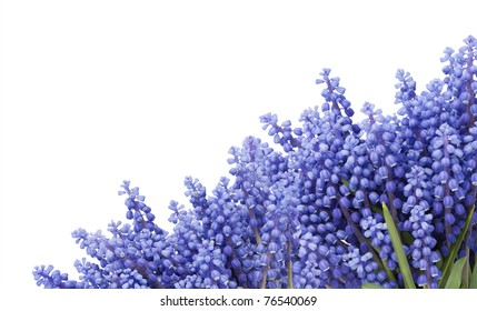 """Postcard with  first blue  springs flowers """" Muscari"""" isolated on white"""