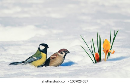 postcard two birds, Sparrow and tit near bright beautiful spring flower snowdrop Crocus breaks through the snow on a festive background