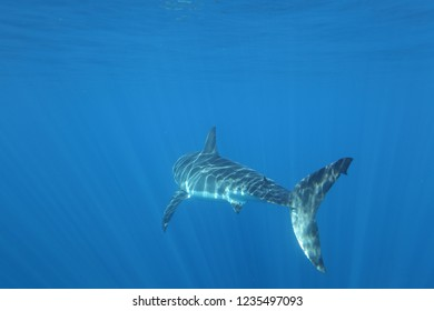 posterior view of great white shark, Carcharodon carcharias, swimming near the surface, Isla Guadalupe, Mexico, Pacific Ocean