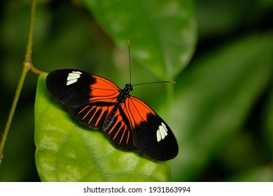 Postman Butterfly, Heliconius melpomene, from Mexico in the nature habitat. Nice insect from Panama in the green forest. Butterfly sitting on the red flower from Central America.