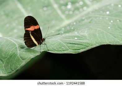 A postman butterfly stands on a leaf