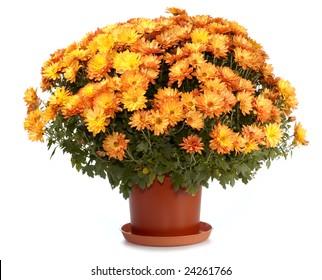 A pot of beautiful orange autumn chrysanthemums isolated on white background