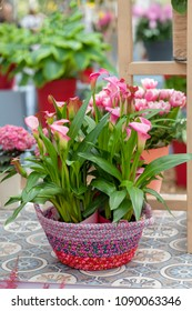 Pot with beautiful pink Calla flowers