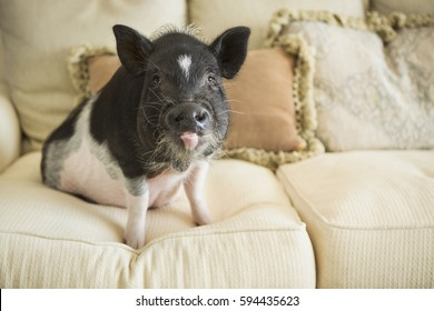 A pot bellied pig sitting on the cushions of a sofa in an elegant mansion