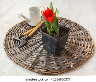 Pot with blooming botanical tulips and garden tools